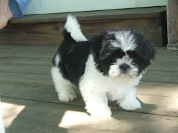 shih tzu puppies Shih tzu Puppies in PA Shih Tzu