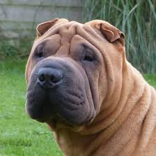 Do Shar Peis Shed Hair by Shar Pei Coat Types And Colours Knoxila Japanese Shiba Inus
