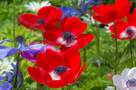 anemones all about anemone bulbs farmer gracy s