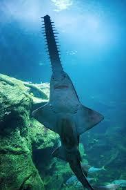 requin scie aquarium de la rochelle picture of aquarium la