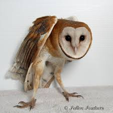 Barn Owl | Birds Eye View Barn Owl Facts About Owls The Rspb Bto Bird Ring Demog Blog October 2014 Chouette Effraie Lechuza Bonita Sbastien Peguillou Owl Free Image Peakpx Wikipedia Barn One Wallpaper Online Galapagos Quasarex Expeditions Hungry Project Home Facebook Free Images Nature White Night Animal Wildlife Wild Hearing Phomenal Of Nocturnal Wildlife Animal Images Imaiges
