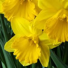 daffodil bulbs item 3562 for sale