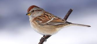 wild birds unlimited brown sparrow bird with reddish head and