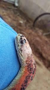 Corn Snake Shedding Too Often by 9 Best Scaleless Snakes Images On Pinterest Amphibians Reptiles