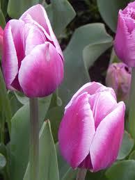 synaeda blue tulip bulbs bulk buy