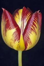 flowers expensive in the world 17th century tulip bulb