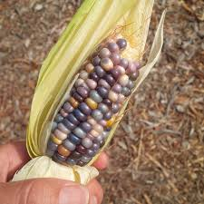 Harvesting Glass Gem Popping Corn - Gardenerd Prettiest Popcorn I Ever Did Grow The Unfettered Fox Glass Gem Corn Littlegirlstory Glass Gem Corn The Cover Of Our Whole Seed Catalog Carls Flint Is An Unbelievably Stunning Bred By Part Hdenosaunee The Iroquois Confederacy Tuscarora White Oliveloaf Design Afbeeldingsresultaat Voor Peru Brazil Colored Pinterest 9 Best Sweetcorn Images On Color 2 Cob And Maze Story Behind Business Insider 1293 Indian Fruit Pink Popcorn