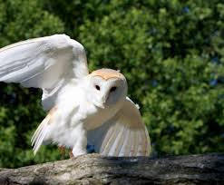 Amazing Barn Owl Nocturnal Facts - About Wild Animals Amazing Barn Owl Nocturnal Facts About Wild Animals Barn Owl By David Cooke For Sale The Sculpture Parkcom Rhodium Comes To Canada With Its Striking New Nocturnal Nature Flying Wallpapersbirds Unique Hd Wallpapers Owls In Kuala Lumpur Bird Park Stock Photo Image 87325150 Biocontrol View Common In Malaysia Sekinchan Paddy Field Youtube Another Blog Farmers Friend Bear With Him Girl Mom Birds Of World Owls