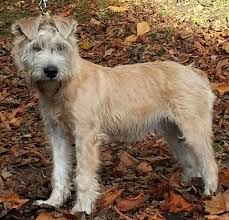 Do Wheaten Terrier Dogs Shed by Coat Types And Grooming U2013 Eblanahalls