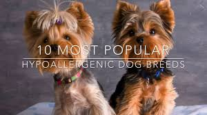 List Of Non Shedding Hypoallergenic Dogs by 10 Most Popular Hypoallergenic Dog Breeds Youtube