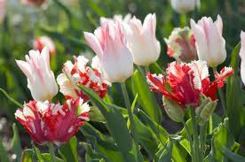 plant tulips this fall for ladell landscaping