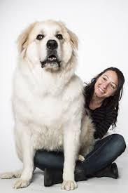Large Dogs That Dont Shed Fur by 10 Dogs Who Don U0027t Realize They Are Huge Big Dogs