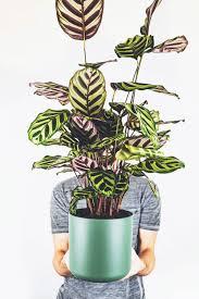 zimmerpflanze fürs wohnzimmer pflanzen korbmarante