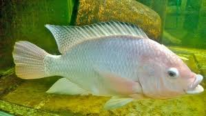 TILAPIA OREOCHROMIS Niloticus Fingerlings Live Over Night Delivery To Uk Aqua Ad 2