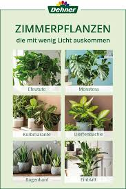 zimmerpflanzen die mit wenig licht auskommen pflanzen