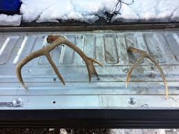 Elk Shed Hunting Utah by 16 People Receive Citations For Collecting Shed Antlers U2013 St