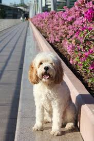 Do Cavapoos Shed A Lot by 32 Best Dogs Cavapoo Images On Pinterest Poodle Mix Doodle Dog