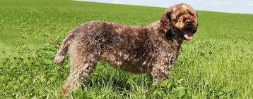 Do Wirehaired Vizslas Shed by Wirehaired Pointing Griffon Dog Breed Health History
