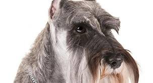 Protective Dog Breeds That Dont Shed by 11 Dog Breeds That Don U0027t Shed