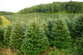 Christmas Trees Types Uk by All About Christmas Trees Onefold Uk