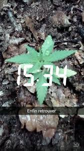 recolte cannabis exterieur date combien de g on peut récolter sur une plante en outdoor psychoactif