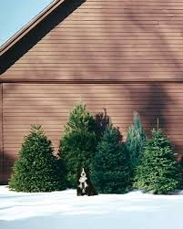 Leyland Cypress Christmas Tree by How To Pick Out A Christmas Tree Martha Stewart