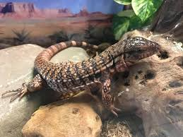 Crested Gecko Shed Stuck On Eye by Slither U0026 Swim Pets Home Facebook