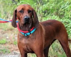 Irish Wolfhound Non Shedding by Dog Breed Spotlight The Irish Wolfhound Nuvet Labs Blog