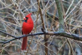 The Scarlet Of A Male Cardinal Offers Welcome Break From Gray On Winters Day
