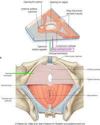 Muscles Of The Pelvic Floor Male by Viscera External Male And Female Ranzcrpart1 Wiki