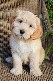 No Shed Dogs Medium by 83 Best Cutest Dogs Images On Pinterest Dogs Doodle Dog And