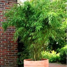 bambou fargesia jumbo idée plants