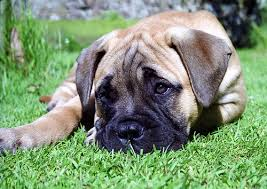 Dogs That Dont Shed Large by Woof Dreams 5 Dog Breeds I Want Miblog
