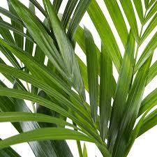 zimmerpflanze kentia palme in weißem übertopf als set höhe 120 cm