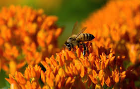 grow these 50 pollen rich plants to help your local honeybees