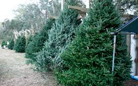 Leyland Cypress Christmas Tree by Branch Out To Find The Right Christmas Tree Island Packet
