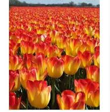 free shipping us 2 pcs real tulip bulbs rengat town flower easy to