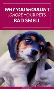 Big Dogs That Dont Shed Bad by Don U0027t Ignore Your Dog U0027s Bad Smell U2014 It Could Signal A Serious