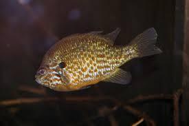 Pumpkin Seed Sunfish Pictures by File Pumpkinseed Sunfish Lepomis Gibbosus 3148925341 Jpg