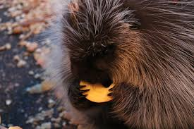 Porcupine Eating Pumpkin And Talking by Baby Porcupine Eating An Apple Imgur