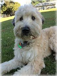 Do Wheaten Terrier Puppies Shed by Soft Coated Wheaten Terrier Puppy I Want Dogs And Puppies