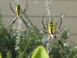 Garden Spiders -- Spinning Webs - YouTube R2rustys Chatter September 2017 Ladybugs Backyard And Beyond Birdingand Nature Golden Silk Orb Weaver Spider In Bug Eric Sunday Black Yellow Argiope Glass Beetle By Falk Bauer A Backyard Naturalistinsects Ghost Spiders Family Anyphnidae Spidersrule C2c_wiki_silvgarnspider_hrw8q0m1465244105jpg Aurantia Wikipedia Two Views Sonoran Images Elephant Tiger Skin Spiny Blackandyellow Garden Mdc Discover Power Animal For October Shaman Amy Katz