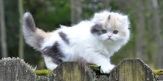 munchkins cats munchkin cat information characteristics facts names