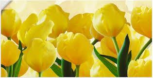 artland wandbild tulpenfeld gelb blumen 1 st in vielen größen produktarten alubild outdoorbild für den außenbereich leinwandbild