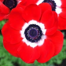 anemone planting guide easy to grow bulbs