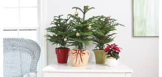 Fred Meyer Christmas Tree Stand by Norfolk Island Pine Costa Farms
