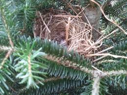 Christmas Tree Has Aphids by Fraser Fir Ipm Celebrate Earth Day With A Christmas Tree