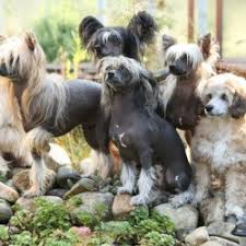 Dogs That Shed Less Hair by Which Breed Of Dog Sheds The Least Hair Breed Dogs Picture