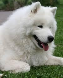 Do Samoyed Huskies Shed by Pet Your Dog 10 Reasons Samoyeds Make Us Smile