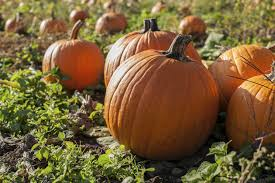 Maxwells Pumpkin Patch Amarillo Texas by Fun Things To Do In The Texas Panhandle During The Fall